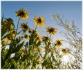 wild_blackeyed_susans_1470b.jpg