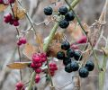 ww_berries_0141sp.jpg